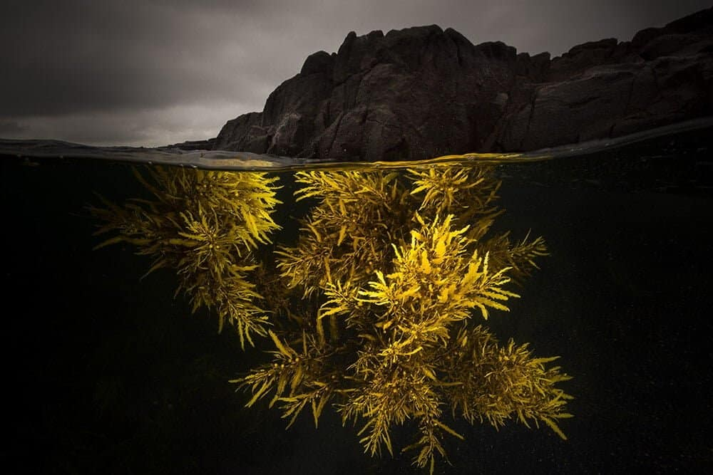 """A Splash of Yellow"" – Sargassum-wier, Bushranger Bay, NSW Australië"